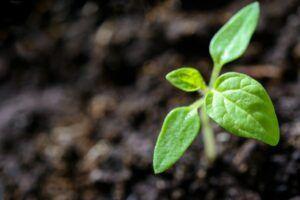 Brote verde sale de la tierra trabajada