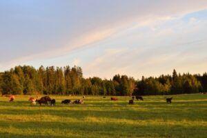 Vacas pastan en un paraje verdoso